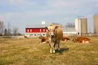 Mini Cow - Informatieve