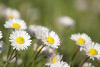 Daisy - Sow zaden goed