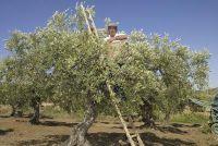 Overwinteren olijfboom goed