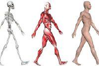 Hoeveel spieren doet het menselijk lichaam?  - Informatieve