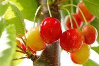 Het gebruik van koolzaadolie als een spray voor fruitbomen