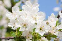 Wanneer de bloeiende appelboom?  - Om de bloei en de opbrengst te bevorderen