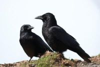 Verdeel Ravens - Hoe om uw fruit te beschermen