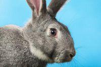 Als het konijn's eye Trant - je moet doen