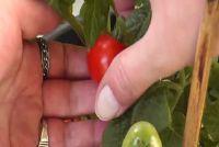 Balkon tomaten - zodat u een rijke oogst te krijgen