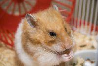 Wat helpt tegen hoest en verkoudheid in de hamster?