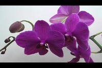 Orchid Ziekten: kleverige platen - wat te doen?