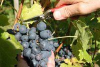 Verblijf in de wijnmakerij - zoals u deelnemen aan de druivenoogst in de Rheingau