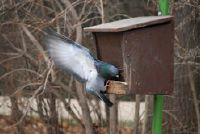 Duif - het eten vogels in de winter