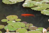 Wanneer moet je vis gebruiken - Instructies voor de tuinvijver