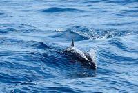 Zie dolfijnen in Mallorca - dus het zou kunnen werken