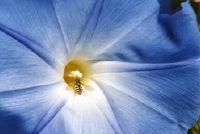 """Handhaving van de plant """"Blue Mauritius"""" - hoe het werkt"""