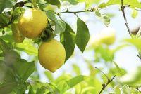 Lemon Tree heeft plakkerige bladeren - oorzaken en tegenmaatregelen