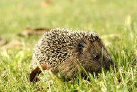 Raak de winterslaap van egels niet storen - dus je bedachtzaam gedragen in uw tuin