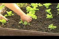 Pflücksalat oogst - Hier is hoe