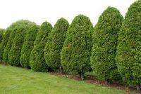 Meststoffen voor Thuja - de boom van het leven te leveren in het groeiseizoen optimale