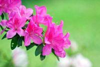 """Rhododendron """"Juni vuur"""" - zodat je het goed onderhouden"""