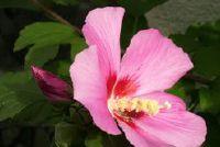 Handhaaf tuin hibiscus goed