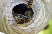 Wat zijn wespennesten?  - Meer informatie over de nesten Ontdek