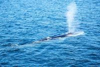 Snelheid van de Blue Whale - weten over de zwemsnelheid