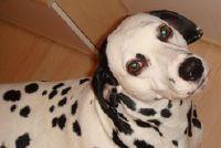 Dalmatische - Informatie over het houden en verzorgen