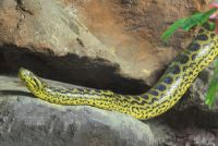 Yellow anaconda buy - Mededelingen