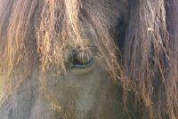 Koop paard van IJsland - u moet weten over de bijzondere ras