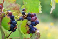 Grow druiven - dus het zal werken in uw tuin