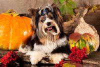 Biewer Yorkshire Terrier puppy - weten over de houding en de behandeling