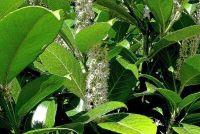 Herplanten cherry laurier - hoe het werkt