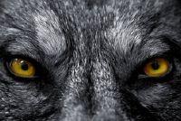 Tattoo: Wolf - Mededelingen