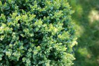 Buxus verliest bladeren - wat te doen?