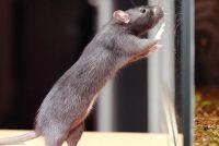 -Rat vangen - dus je zal moeten de onaangename dieren te ontdoen van