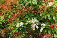 Photinia planten goed en onderhouden
