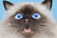 Kat heeft kiespijn - wat te doen?