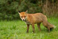 Wat te doen over het - vos in de tuin?