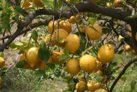 Lemon tree verliest bladeren - wat te doen?