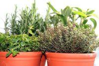 Kruiden planten op het balkon - dus slaagt's