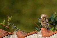 Sparrow - bouwen van een nestkast voor de tuin