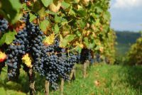 Weingut Gunderloch - Hoe toe te passen als Erntehelfer