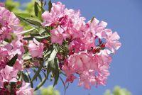 Snoei Oleander