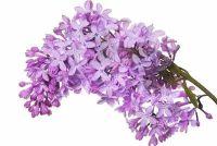 Zijn lila giftig?