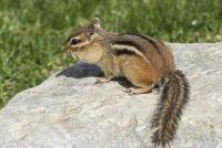 Chipmunks - behuizing