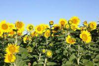 Wanneer u zonnebloemen te planten?
