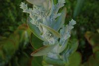 Vetplanten uitloper - aanplant en verzorging
