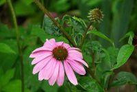 Echinacea planten - hoe het werkt