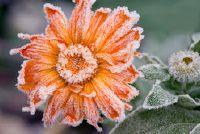 Bevroren bloemen - wat te doen?