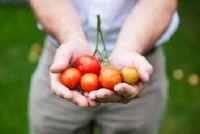 Heb tomaat koolhydraten?  - Informatie over de rode groenten