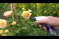 Vecht luizen met detergent - Roses