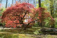 Een esdoorn boom voor de tuin - planten zo en de Japanse esdoorn te behouden